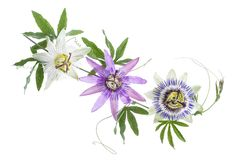 Three colored passion flower purple, white, blue, hanging isolated on white Royalty Free Stock Image
