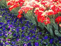 Three-colored violas and red tulips. stock photography
