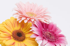 Three colorful daises on white Royalty Free Stock Images