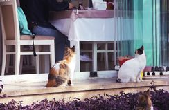 Three colorful fluffy street cats sit near the restaurant stock image
