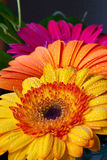 Three Colorful Gerber Daisy's Royalty Free Stock Photography