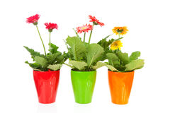 Three colorful Gerber flowers in pot Royalty Free Stock Images