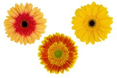 Three colorful gerbera flower isolated on white background,. Close-up stock photos