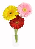 Three colorful gerbera in glass of water Royalty Free Stock Image