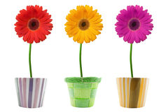 Three colorful gerberas . Royalty Free Stock Image
