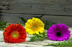 Three colorful gerberas Royalty Free Stock Images
