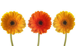 Three colorful gerberas in a row royalty free stock photos