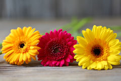 Three of colorful gerberas on wooden boards Stock Photo