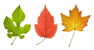 Three colorful leaves royalty free stock photos