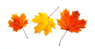 Three colorful maple autumnal leaves Royalty Free Stock Photo
