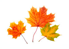Three colorful maple autumnal leaves Stock Photography