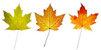 Three colorful maple leaves Royalty Free Stock Photography