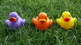 Three colorful plastic ducks in grass. Purple, orange and yellow plastic duck toys sitting in a row on grass plot Royalty Free Stock Images