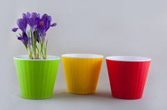 Three colorful plastic flowerpots and crocus Royalty Free Stock Images