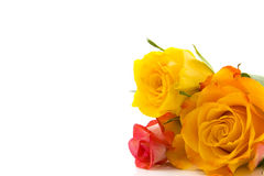 Three colorful roses. Colorful roses in the corner with white space for text Stock Photography