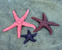 Three Colorful Starfish. Pink, red and purple starfish in the sand Royalty Free Stock Photography