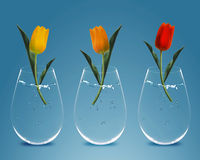Three colorful Tulips. In three transparent vases Stock Images