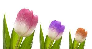 Three colorful tulips. Isolated on white background royalty free stock photography