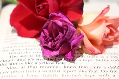 Still life with rose and a book. Three colorfull roses over a book page with English text royalty free stock photos