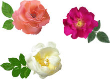 Three colors brier flowers collection Royalty Free Stock Photos