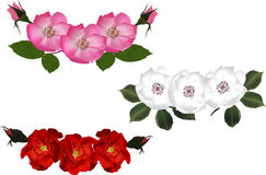 Three colors brier flowers isolated on white Stock Images