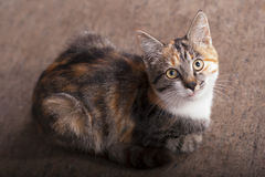 Three colors cat Royalty Free Stock Images