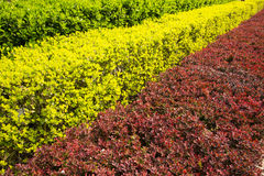 Three colors of the green belt plant Stock Photos