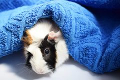 Three colors Guinea pig and towel. royalty free stock images