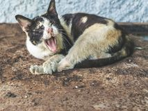 Three colors homeless blind cat. Dirty cat yawning stock photography