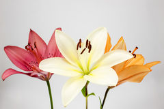 Three colors of lily Stock Images