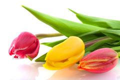 Three colors tulips Royalty Free Stock Photography