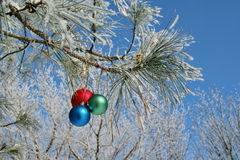 Three colour balls on a pines branch Stock Photo