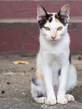 Three Colour thai cat. Little three Colour thai cat stock images