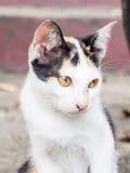 Three Colour thai cat. Little three Colour thai cat stock image