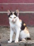 Three Colour thai cat. Little three Colour thai cat royalty free stock images