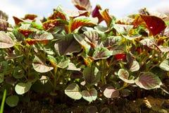 Three-coloured Amaranth royalty free stock images