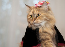 Three-coloured cat. Madame ( in a black Cape and a pink bow Royalty Free Stock Photos