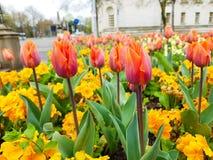 Tulips! royalty free stock photos