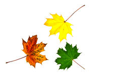 Three colourful autumn leaf with copy space. Autumn leaf on white background Royalty Free Stock Photo