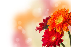 Three colourful Gerbera daisies with bokeh Stock Images