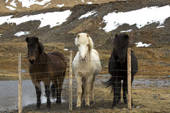 Three colours of Icelandic horses Royalty Free Stock Photos