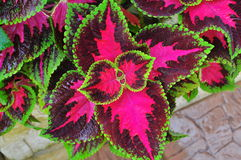 Three colours plant - the coleus blumei benth. The Coleus plant has very colorful foliage and is popular as a houseplant and in gardens. Its geographic origin is Stock Photo