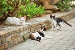 Three colours white black orange cat, lying on the pavement in garden, with two more stray cats around her royalty free stock image