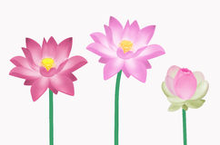 Three colr lotus flowers Stock Photos