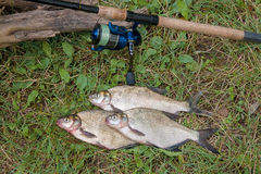 Three common bream fish on the natural background. Catching fres Stock Images
