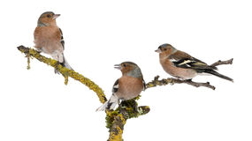 Three Common Chaffinch on a branch Royalty Free Stock Photography