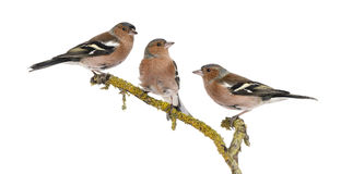 Three Common Chaffinch on a branch, Fringilla coelebs Royalty Free Stock Photos
