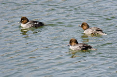 Three Common Goldeneyes Swimming in the Lake Royalty Free Stock Photo
