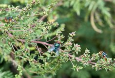Three Common Green Bottle Flies on a branch. stock photography