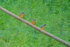 Common Kingfisher. Three Common Kingfisher are fishing. Scientific name: Alcedo atthis Royalty Free Stock Photos